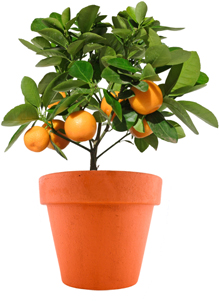 Potted Orange